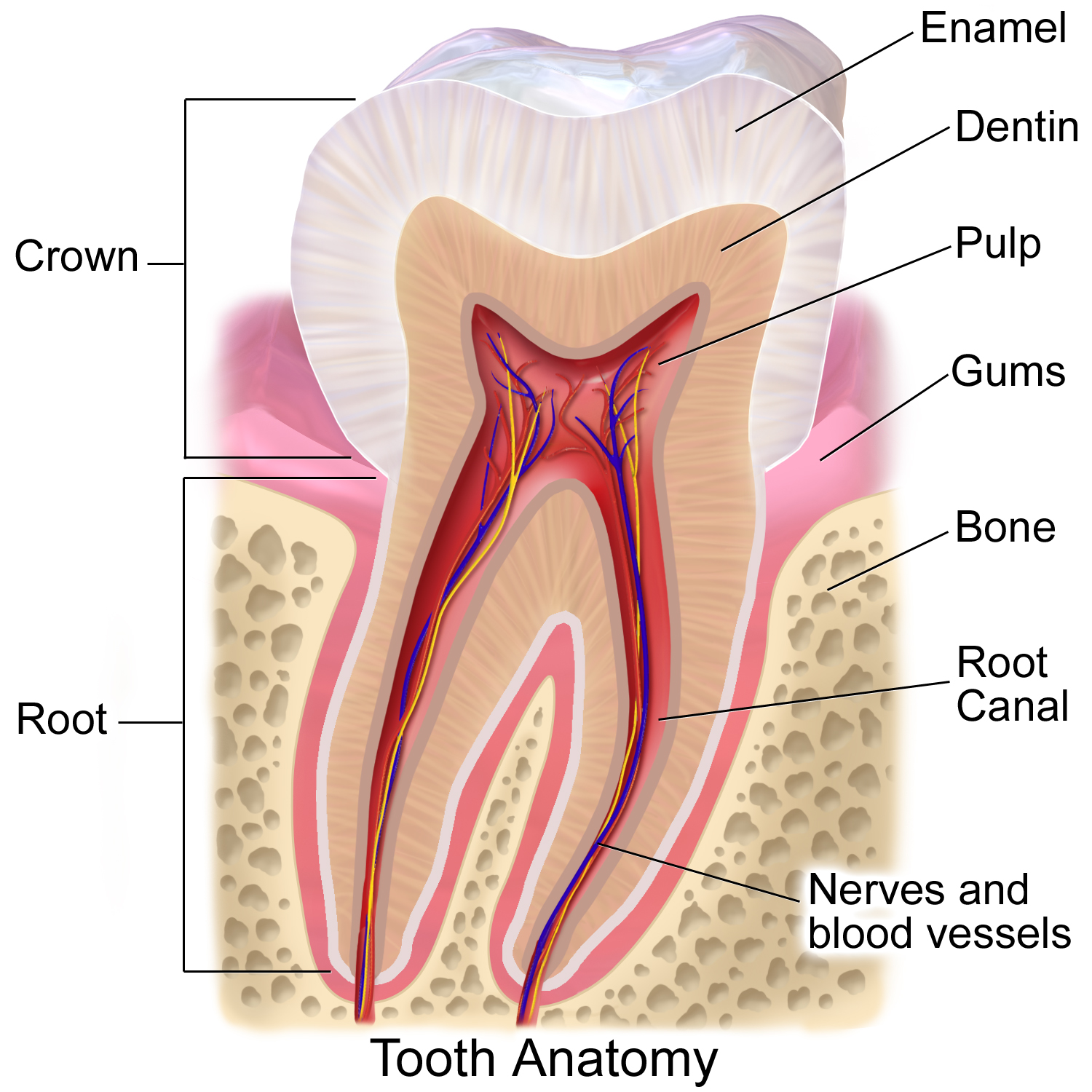 Tooth Enamel Diagram
